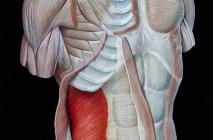 Muscolatura torace e addome